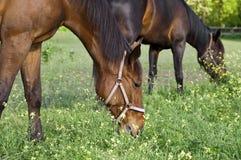 Två hästar på det betande slutet för lantgård Royaltyfria Foton