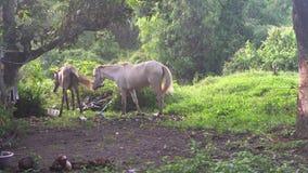 Två hästar på fältet i Thailand lager videofilmer