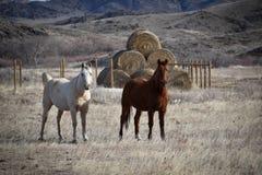 Två hästar på ranch i Wyoming royaltyfri fotografi