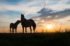 Två hästar på solnedgången Arkivfoton