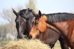 Två hästar som äter hö Fotografering för Bildbyråer