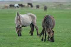 Två hästar som betar i en beta royaltyfria foton