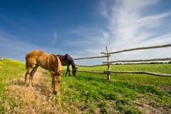 Två hästar som betar i near staket för äng Royaltyfria Bilder