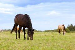Två hästar som betar på en beta Arkivbild