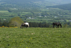 Två hästar som betar på ett fält Arkivfoto