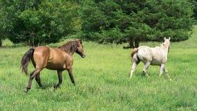 Två hästar som kör i en grön äng royaltyfria foton