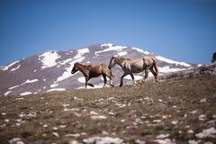 Två hästar som kör i fältet Fotografering för Bildbyråer