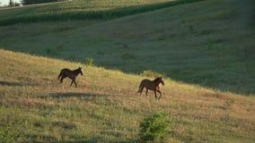 Två hästar som kör i slo-mo arkivfilmer