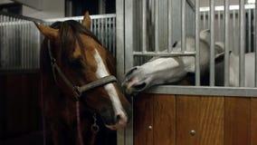 Två hästar som kysser i stall Häst som två tillsammans kysser Den bruna och vita hästen är kyssande stock video