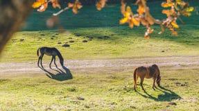 Två hästar som nästan äter grönt gräs nära en väg en skog royaltyfria bilder