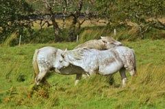 Två hästar som smeker sig arkivbilder