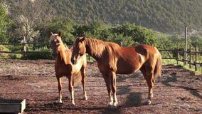 Två hästar som spelar i morgonljusen stock video