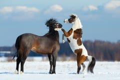Två hästar som spelar i snön Arkivbilder
