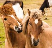Två hästar som spelar Island Arkivfoton