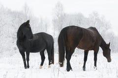 Två hästar som står på ett fält i vinter Arkivbilder