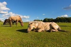 Två hästar som vilar på den gröna ängen, en sover arkivfoton