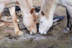 Två hästar vänder mot sig, lek är inte värda vänta askaen av branden Fotografering för Bildbyråer