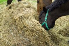 Två hästar vid höbalen arkivbilder