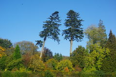 Två högväxta prydliga träd Royaltyfria Foton