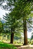 Två högväxta träd i ett mest forrest arkivfoto