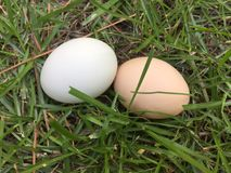 Två hönaägg som lägger i gräset royaltyfria foton