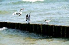 Två hövdade fiskmåsar i kampen Arkivfoto