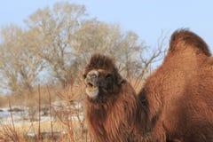 Två-ha sex med Bactrian kamel i Xinjiang, Kina Camelusbactrianus Royaltyfria Foton