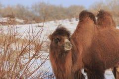 Två-ha sex med Bactrian kamel i Xinjiang, Kina Camelusbactrianus Arkivbilder