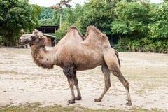 Två ha sex med kamel Arkivfoton