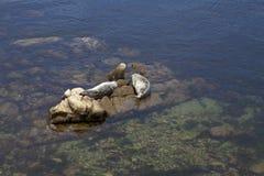 Två hamnskyddsremsor som sunning på rocks i fjärd Royaltyfri Foto