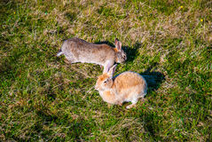Två hares i deras naturliga livsmiljö, Island Arkivfoto