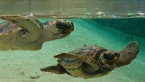 Två havssköldpaddor royaltyfria foton