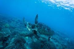 Två havssköldpaddor Arkivfoto