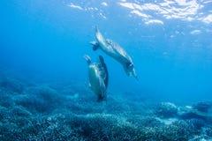 Två havssköldpaddor Arkivbild