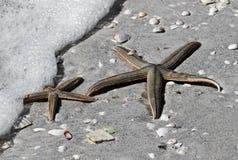 Två havsstjärnor (sjöstjärnan) Fotografering för Bildbyråer