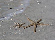 Två havsstjärnor (sjöstjärnan) Arkivbild
