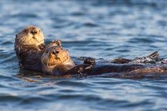 Två havsuttrar som svävar i Morro, skäller, Kalifornien arkivbild