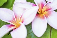 Två hawaianska Plumerias Arkivfoto