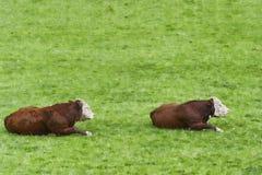 Två Hereford tjurar lägger i gräsplan betar royaltyfri fotografi