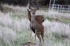 Två hjortar i fältet Royaltyfria Bilder