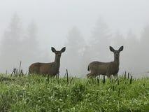 Två hjortar i misten Arkivfoto