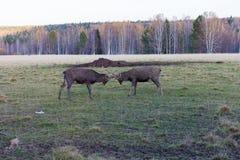 Två hjortbockar som slåss i ett fält royaltyfri bild