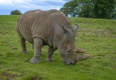 Två-horned noshörning royaltyfria bilder