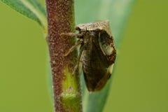 Två-horned Treehopper Royaltyfri Fotografi