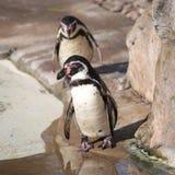 Två Humboldt pingvin Royaltyfri Fotografi