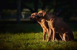 Två hundar Ridgeback som sitter i profil på gräset Arkivfoto