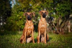 Två hundar Ridgeback som sitter på gräset Fotografering för Bildbyråer