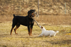 Två hundar som leker dragkampen Arkivbild