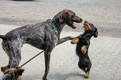 Två hundar som spelar på en koppel royaltyfria foton