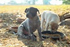 Två hundkapplöpning äter mat och lek med skämtsamma gester fotografering för bildbyråer
